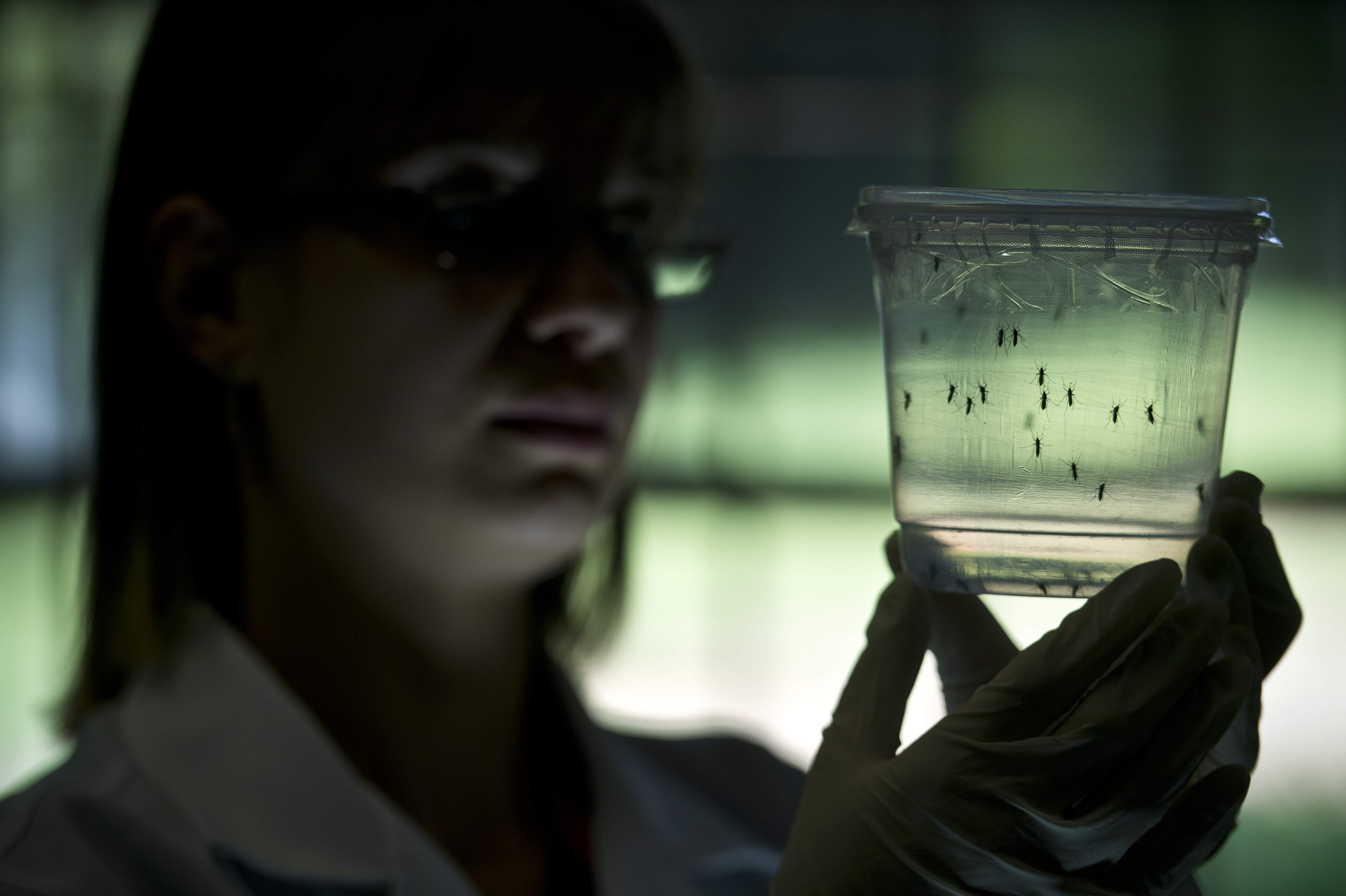 Mosquitos Aedes aegypti. (Getty)