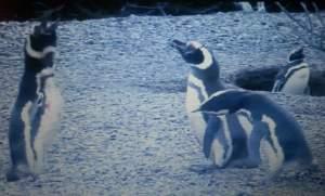 Los pinguinos protagonizan una historia que mueve sentimentos humanos (National Geopgraphic)