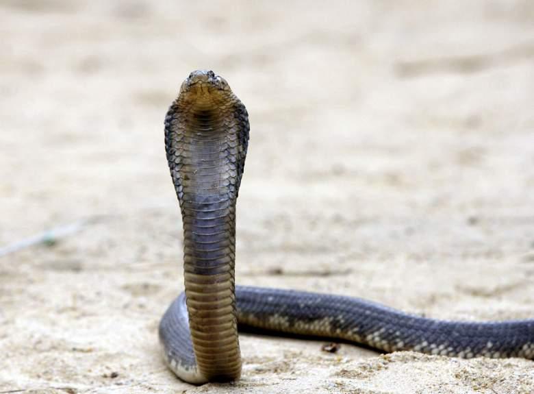 Acusan a hombre de matar a su esposa con una serpiente cobra: ¿por qué lo hizo?