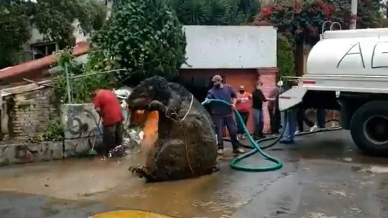 Encuentran 'rata' gigante en el canal de drenaje de Ciudad de México.