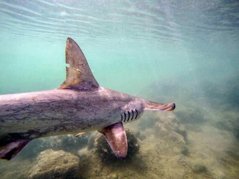 tiburon-martillo-juno-beach