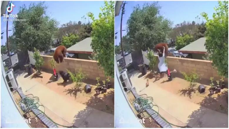 Se ve a Hailey Morinico en este video viral de TikTok empujando a un oso en el patio trasero de su casa en California para salvar a sus perros.