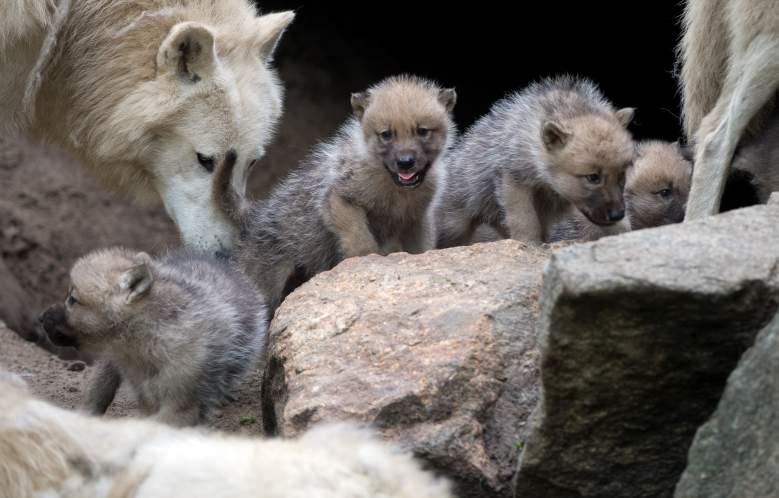 Un lobo juega con cachorros de un mes en su recinto del zoológico de Berlín el 31 de mayo de 2013 en Berlín.