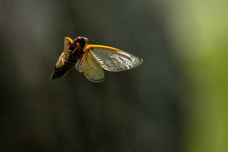 plaga-mosca-linterna-manchada